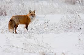 fox-winter-pei